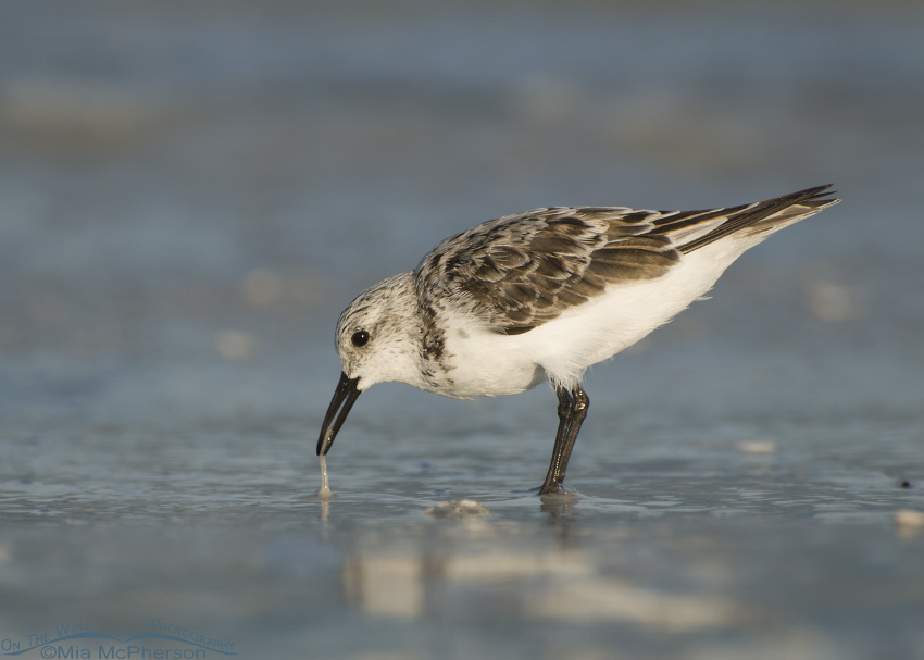 A Sanderling with marine worm