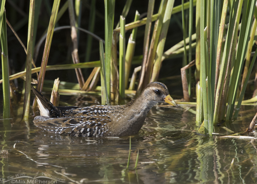 Sora foraging in a farm pond