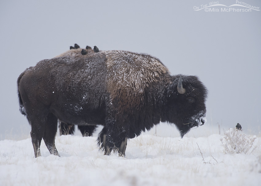 Starlings and a Bison bull in snow