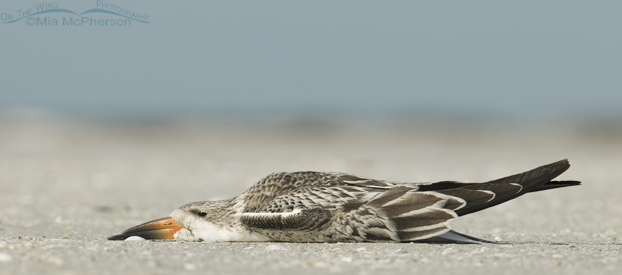 Relaxed Black Skimmer chick