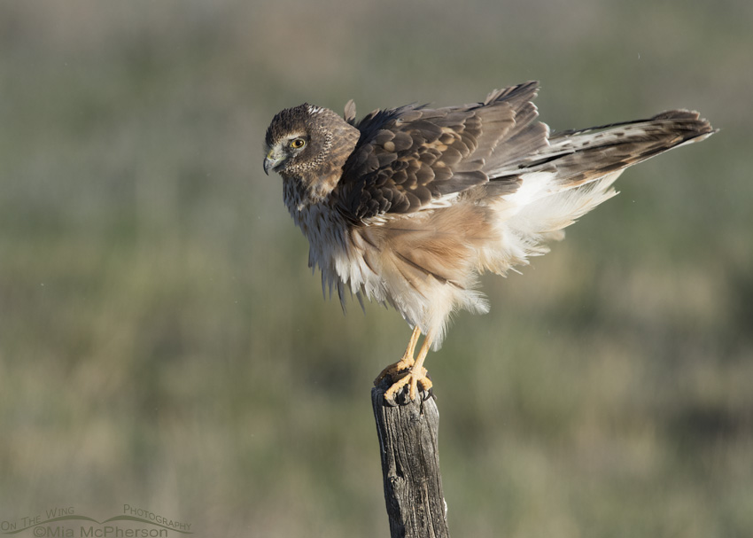 First spring Northern Harrier rousing