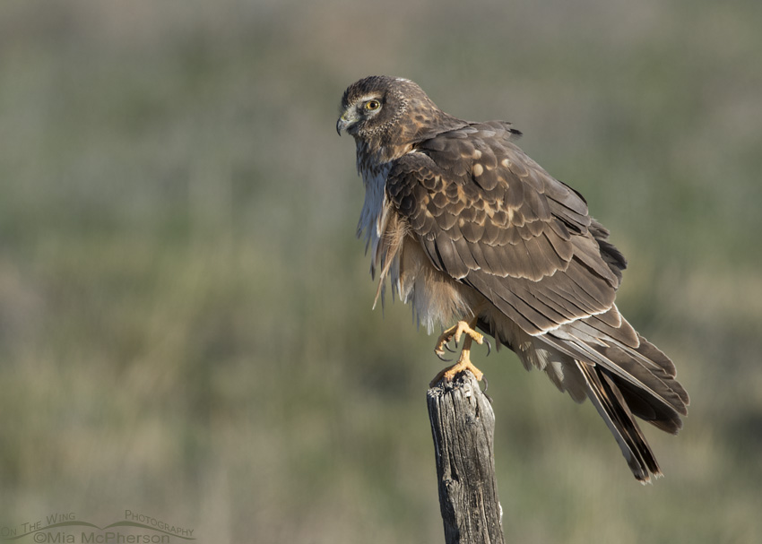 Young Northern Harrier on one leg