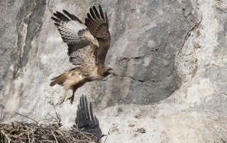 Red-tailed Hawk lift off with nesting material