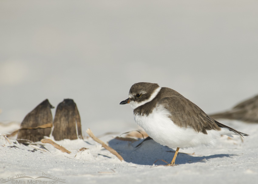 Semipalmated Plover in repose