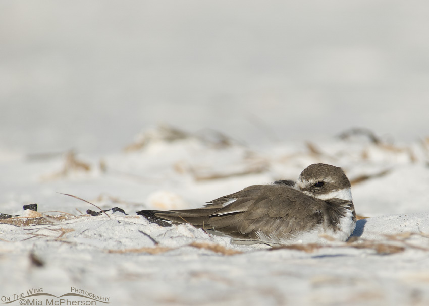 Semipalmated Plover resting