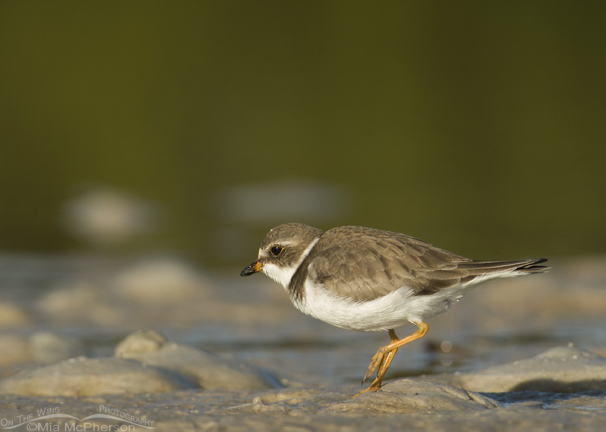Running Semipalmated Plover
