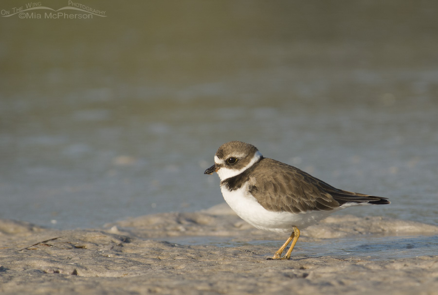 Semipalmated Plover at the edge of a lagoon