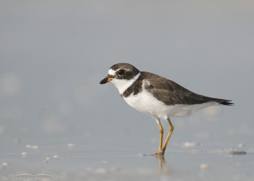 Semipalmated Plover Images
