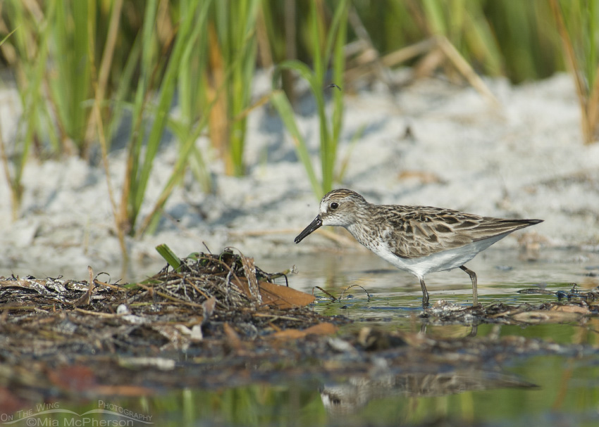 Semipalmated Sandpiper hunting prey