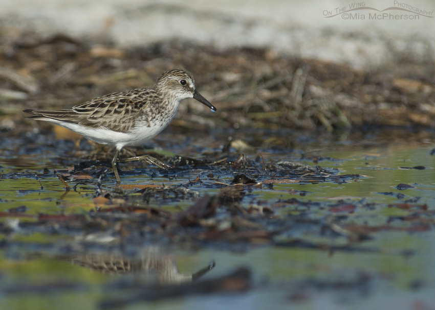 Semipalmated Sandpiper walking in a lagoon