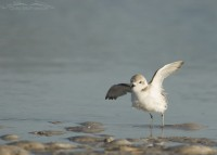 Snowy Plover wing lift after bathing