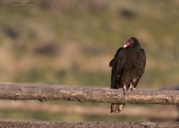 Turkey Vulture at sun rise
