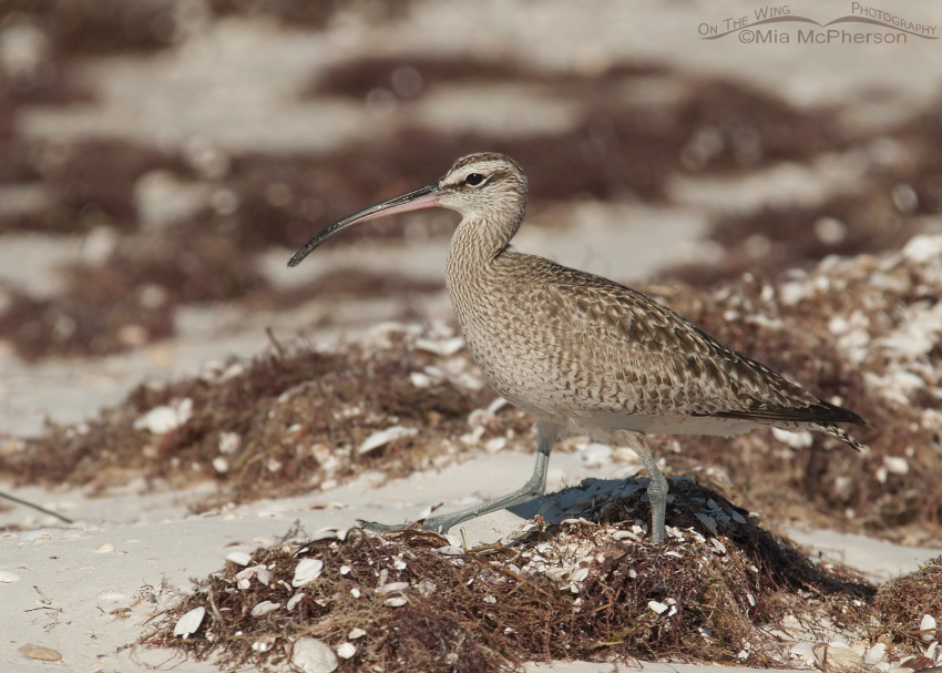 Adult Whimbrel in Pinellas County