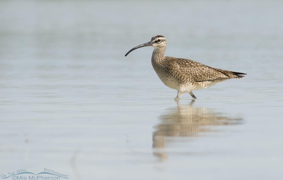 Pinellas County Whimbrel