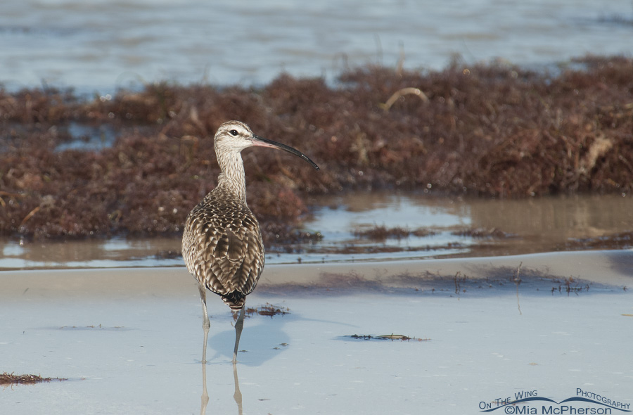 Whimbrel back view