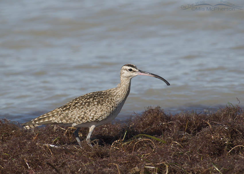 Whimbrel Images