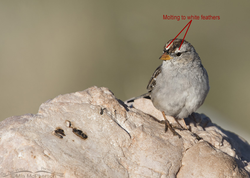 Molting Immature White-crowned Sparrows – Mia McPherson's ...