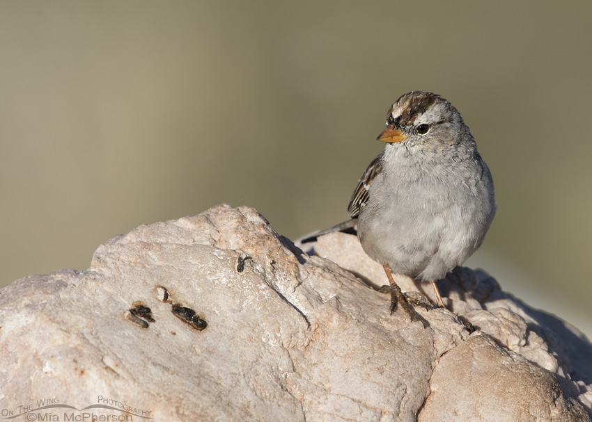 White-crowned Sparrow immature showing molting feathers