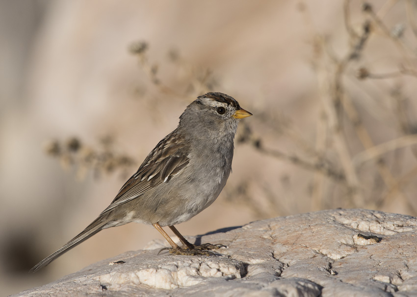 Molting immature White-crowned Sparrow side view