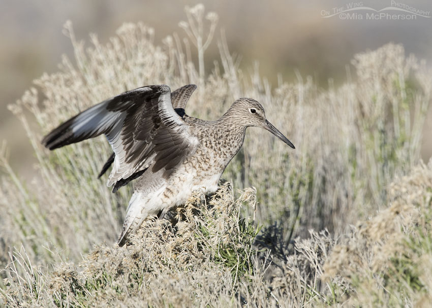 Western Willet on Rabbitbrush
