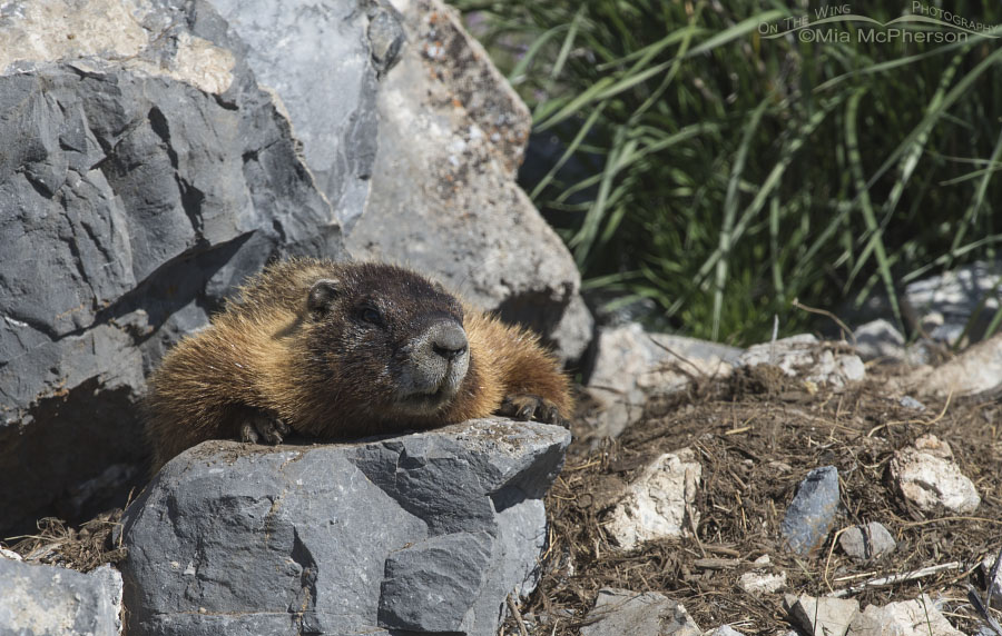 Yellow-bellied Marmot resting in the sun
