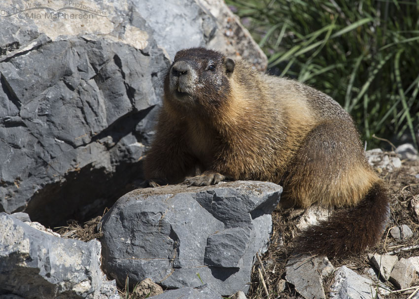 Adult Yellow-bellied Marmot