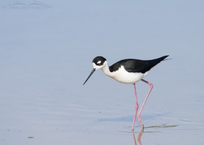 Male Black-necked Stilt foraging