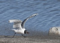 Franklin's Gull chasing Brine flies