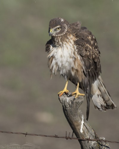 Rousing young Northern Harrier