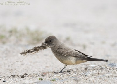 Say's Phoebe with nesting material