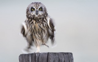 Female Short-eared Owl Blur