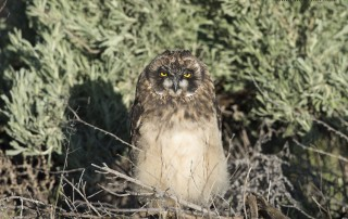Short-eared Owl chick in front of sage