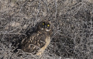 Fledgling Short-eared Owl with Tumbleweeds