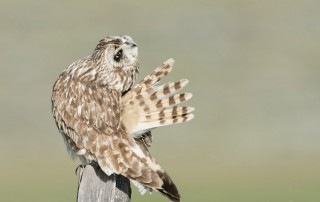Preening Short-eared Owl male with spread tail