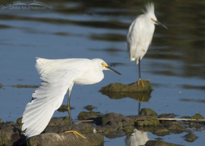 A pair of Snowy Egrets at Bear River MBR