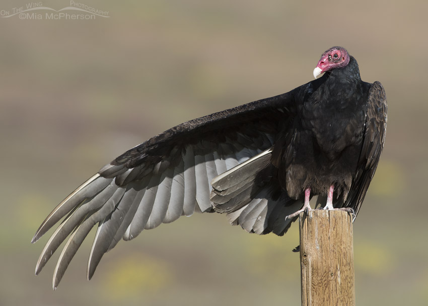Turkey Vulture stretching one wing