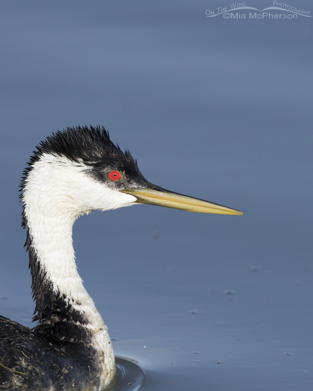 Wet-headed Western Grebe Portrait