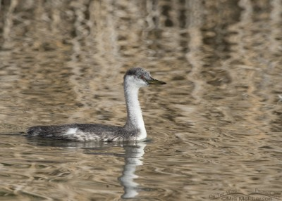 Juvenile Western Grebe at Bear River MBR
