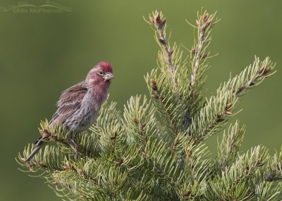 Alert male Cassin's Finch on a conifer