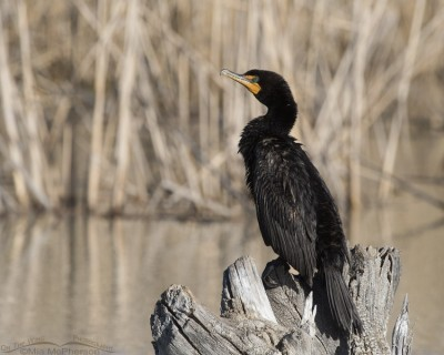 Double-crested Cormorant resting on a stump