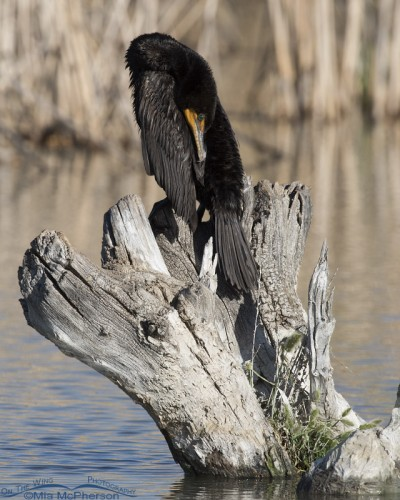 Double-crested Cormorant preening on a stump