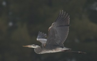 Great Blue Heron in flight with trees in the background