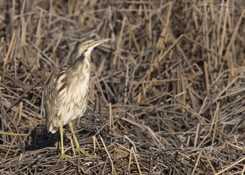 American Bittern out in the open
