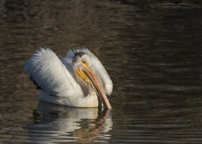 Fluffy American White Pelican in summer plumage