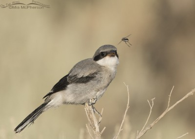 Loggerhead Shrike juvenile looking at a Robber Fly
