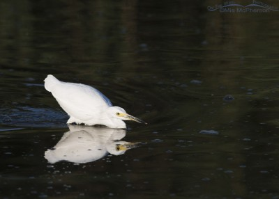 Snowy Egret about to strike prey
