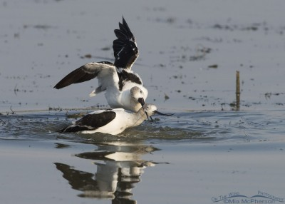 Male American Avocet with a grip on the female's neck