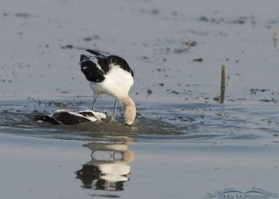 Male American Avocet pushing the female under water