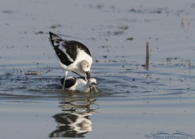 American Avocet male with his bill around the female's neck