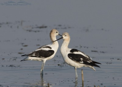 Two American Avocets at Bear River MBR